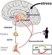 acth-stress